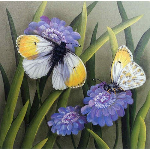 Orange Tip Butterfly & Scabiosa Flowers